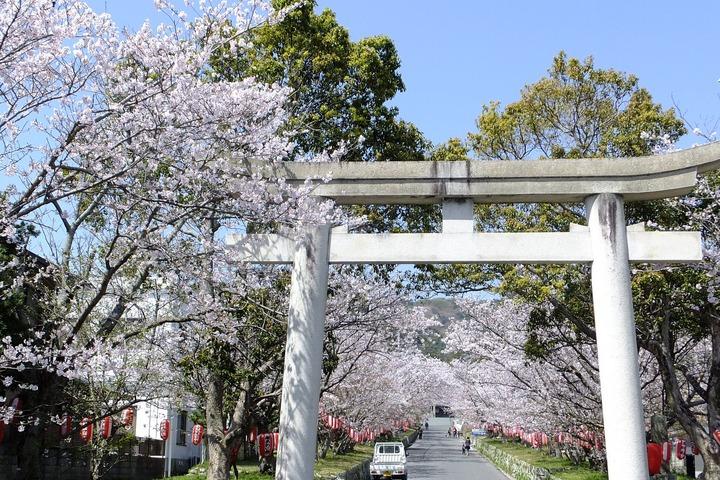 南あわじ八幡神社の桜1