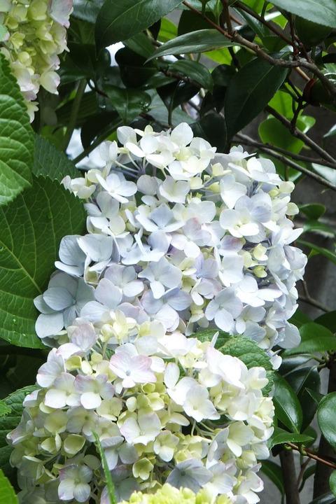 裏庭の紫陽花1