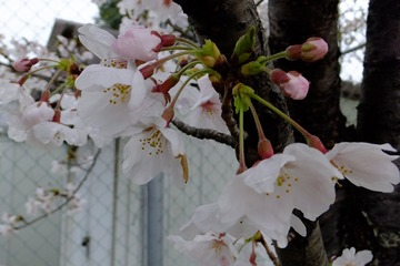 北場公園の桜2014−2