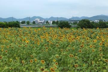 小野のひまわり畑
