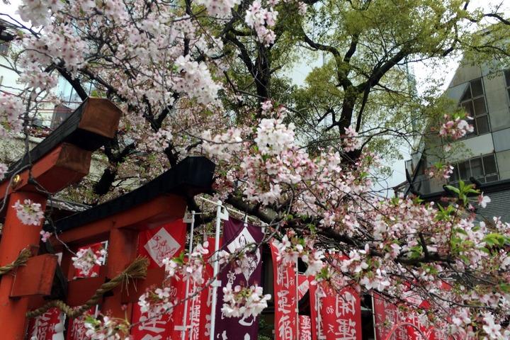 お初天神の桜1