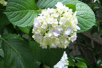 裏庭の紫陽花2