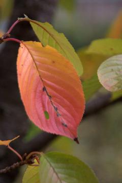 北場公園の桜・紅葉2