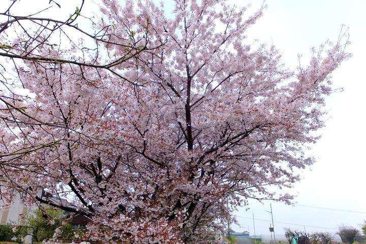 近隣の桜2014−1