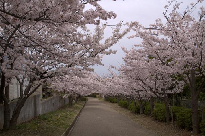 金ヶ崎公園の桜2015-3
