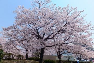 上ケ池公園の桜2