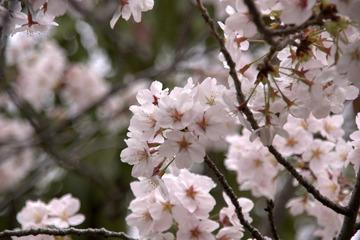 金ヶ崎公園の桜2015-4