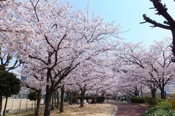 上ケ池公園の桜3