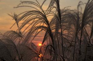 琴池の夕日と芒2