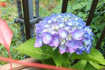 庭の紫陽花2