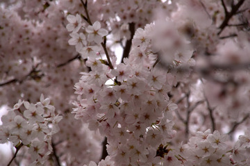 金ヶ崎公園の桜2015-5