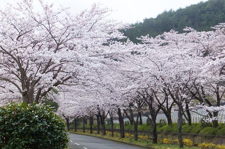 氷上墓苑の桜