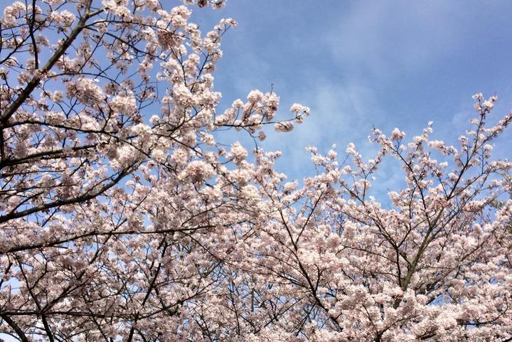 金ヶ崎公園の桜