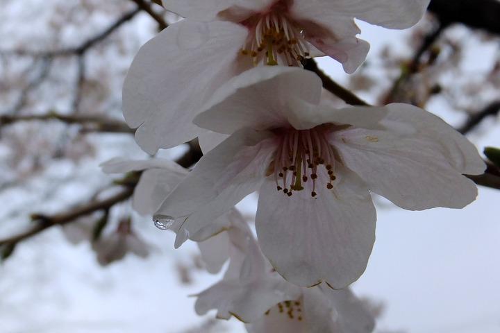 北場公園の桜2014−1