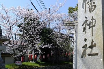 南あわじ八幡神社の桜3