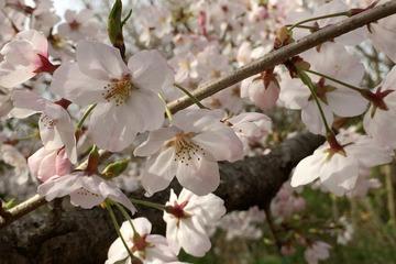 金ヶ崎公園の桜(アップ)