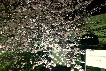コカ・コーラ明石工場の桜(満開・夜景)
