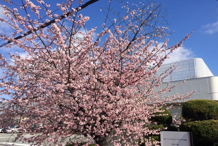 コカ・コーラ工場に咲く早咲き桜(日中)