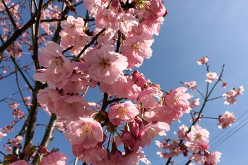陽光桜(アップ)