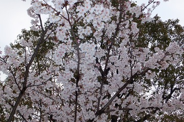 北場公園の桜2014−3