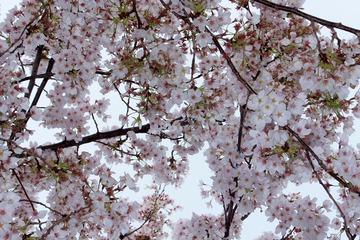 近隣の桜2014−3