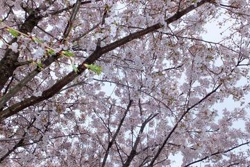 近隣の桜2014−2