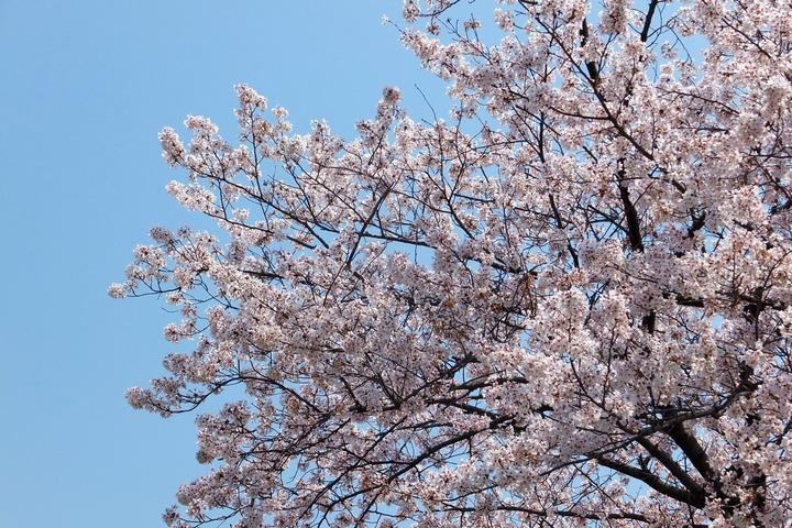上ケ池公園の桜1
