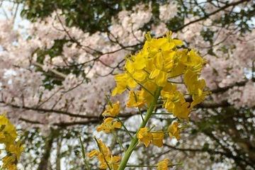 金ヶ崎公園の菜の花と桜