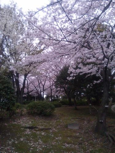 桜 anthem