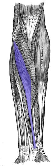 橈側手根屈筋1