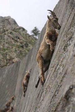 山羊絶壁1