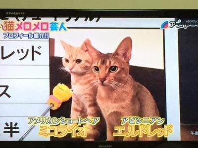 徳井猫エルミコ6