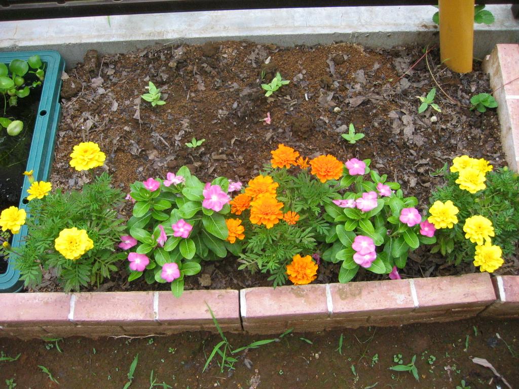 我が家の環境に慣れたようで花付きも良くなってきています。 マリーゴールドは先週に出てきた蕾が一気に開花し始めています。