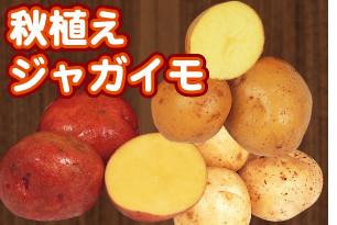 ジャガイモ 時期 秋 の 植え付け
