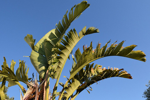 banana-shrub-1447143_1920