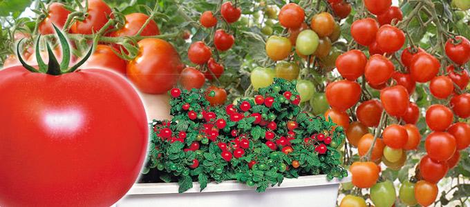 tomatoimg