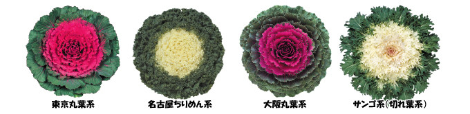 葉牡丹種類