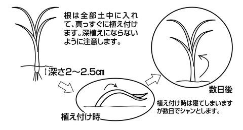 2016玉ねぎ苗1
