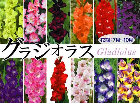 gladiolus-01