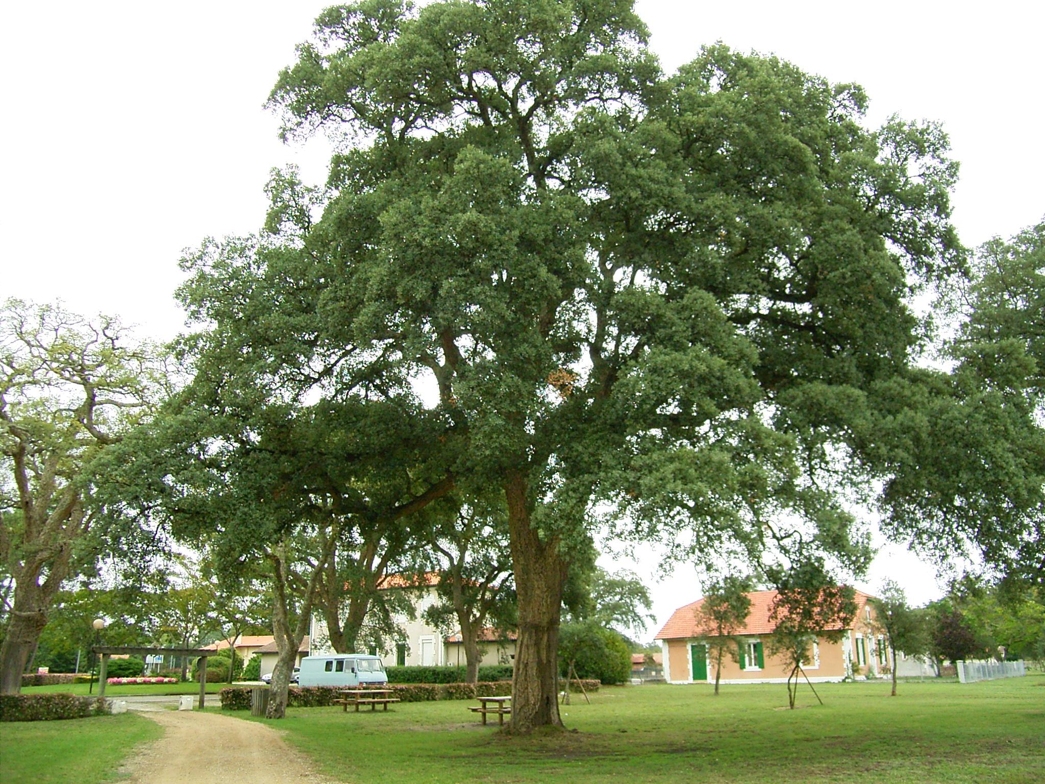 コルクの木 実はこれchene-liege (コルクガシ) コルクの木です。 ワイ... ここが