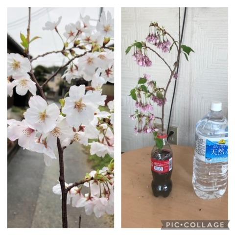 【日本語チューター】桜で希望と失望を知る
