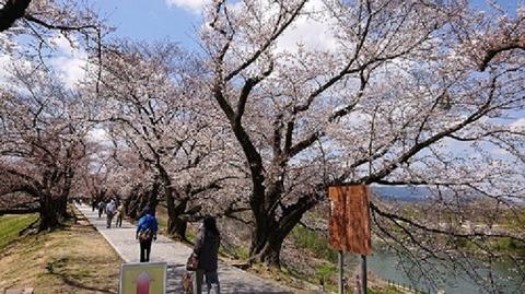 【日本語チューター】背割地区(せわりちく)の桜(さくら)