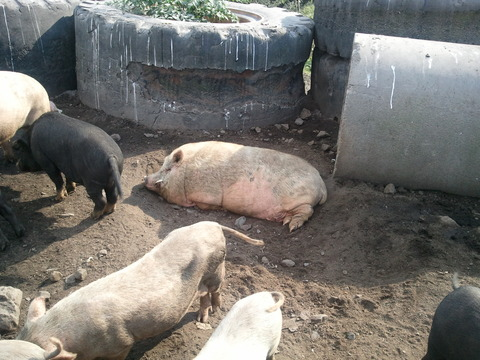 桜島ミニ豚1