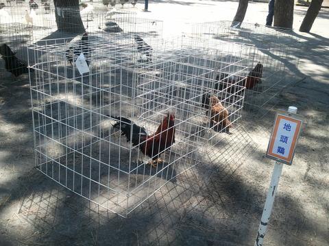 薩摩鶏品評会 県24 8