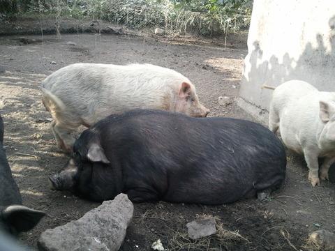 桜島ミニ豚5