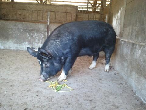 種豚新入り