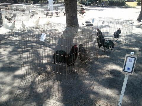 薩摩鶏品評会 県24 7