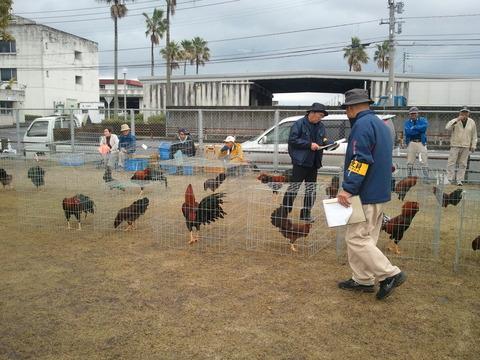 薩摩鶏品評会中央支部3