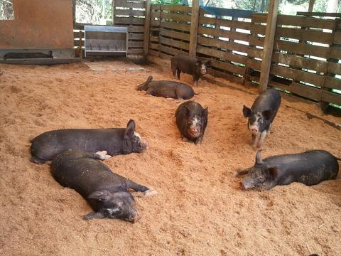 子豚導入5月生まれ