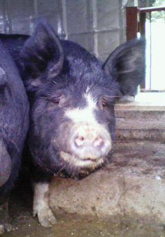 地久利豚1